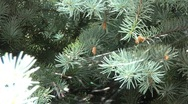 Stock Video Footage of Branches Of Conifers