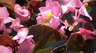 Stock Video Footage of Pink Flowers Closeup