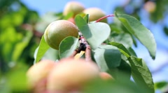 Ripe Apricots On A Tree Branch Stock Footage