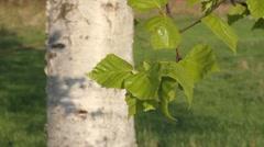 Birch branch Stock Footage