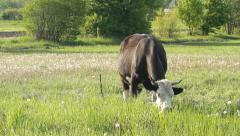 Pasture cow Stock Footage
