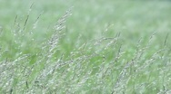Stock Video Footage of Wild grasses