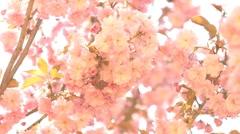 Sakura Stock Footage