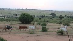 Masai Cows Walking Home (HD) - stock footage