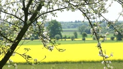 Canola field with apple blossoming - stock footage