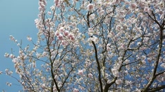 Cherry Blossom Season Stock Footage