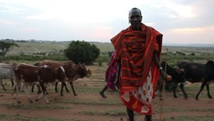 Masai Man Standing with Cattle Passing in Background (HD) - stock footage