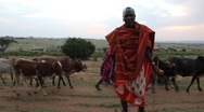 Stock Video Footage of Masai Man Standing with Cattle Passing in Background (HD)