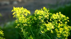 Small yellow flower bush at summer sunset Stock Footage