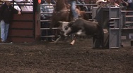 Stock Video Footage of Steer wrestle 3