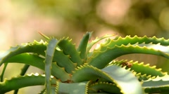 aloe plant - stock footage