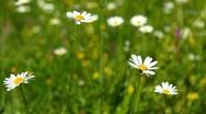 Camomile flowers Stock Footage