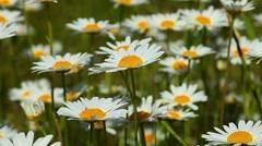 Chamomile flowers closeup Stock Footage