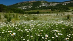 Summer landscape - valley with camomile flowers Stock Footage
