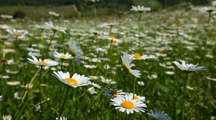 Closeup of chamomile flowers Stock Footage