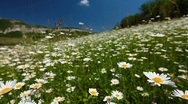 Stock Video Footage of summer landscape - valley with camomile flowers
