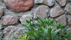 Flowers and Breeze with Natural Stone Wall (HD) Stock Footage