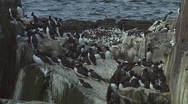 Stock Video Footage of Colony of guillemots