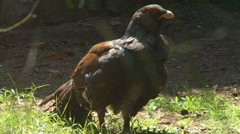wood grouse - stock footage