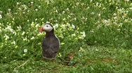 Stock Video Footage of Single puffin