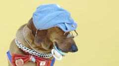 Sausage dog wearing clothes and holding dummy - stock footage