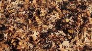 Stock Video Footage of Close-up of Autumn Leaves on Ground