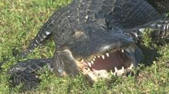 Gator s hickup Stock Footage