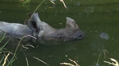 Rhinoceros in water Stock Footage