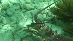 Lobster Crawling on the Sand Stock Footage