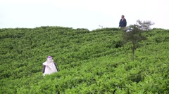 A supervisor watches over tea fields - stock footage