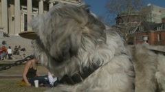 Shih Tzu at Columbia University Campus, New York Stock Footage