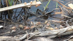 Fiddler Crabs along a Florida shoreline Stock Footage