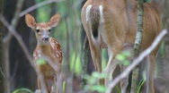 Stock Video Footage of Deer Fawn Nursing