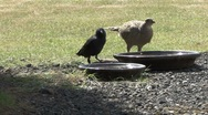 Stock Video Footage of Hen Pheasant and Jackdaw drink from bowl of water.