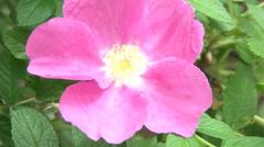 Beautyful Pink Flower Stock Footage