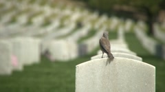 Bird resting on Grave at Veteran's Memorial - Slow Motion - stock footage
