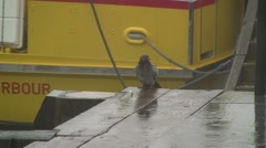 Seaside pigeon in the rain, boat in background HD Stock Footage