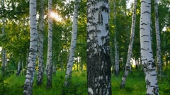 Summer birch woods in Russia Stock Footage