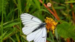 white butterfly on green leaf macro - aporia crataegi - stock footage
