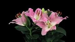 Stereoscopic 3D time-lapse of opening pink lily (left eye) 4a - stock footage