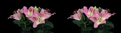 Stereoscopic 3D time-lapse of opening pink lily cross-eye 4az Stock Footage