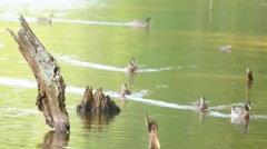Ducks Mallards Log Stock Footage