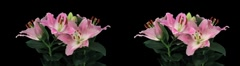 Stereoscopic 3D time-lapse of opening pink lily cross-eye 4a Stock Footage