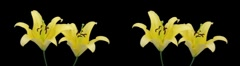 Stereoscopic 3D time-lapse of opening yellow lily (cross-eye) 2a Stock Footage