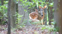 Whitetail Deer Fawn Stock Footage