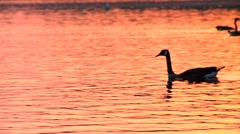 School of Geese at Sunset in Pond Stock Footage