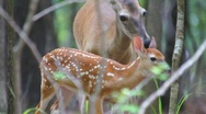 Stock Video Footage of Whitetail Deer Fawn