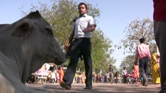 Holy cow in Indian street Stock Footage