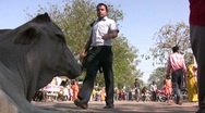 Stock Video Footage of Holy cow in Indian street