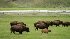 Bison Family Lamar 01 Stock Footage